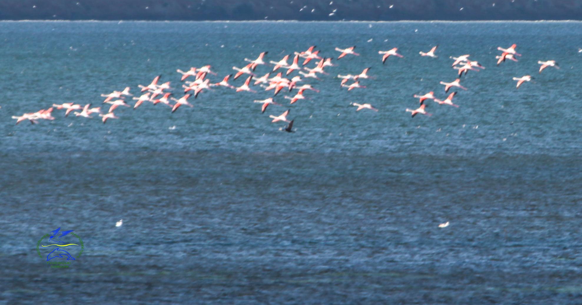 Скоро это будет нормой: в Бессарабии заметили большую стаю розовых фламинго
